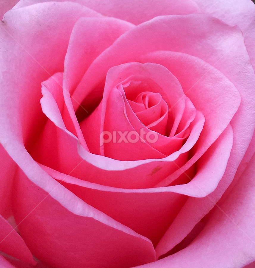 Rose Closeup by Carl Kranhold - Instagram & Mobile Android