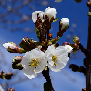 Water dropps on blossoms 432.JPG