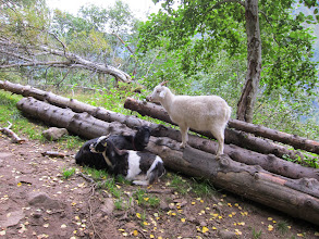 Photo: And more goats