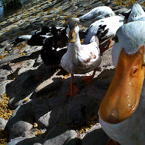 Whats Up Duck? by Lealiza Seiler - Instagram & Mobile Other ( pet, beak, funny, duck, cute, animal )