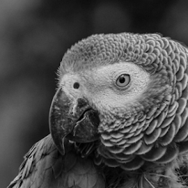 African grey by Garry Chisholm - Black & White Animals ( african grey, nature, bird, parrot, garry chisholm )