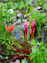 Photo: Bog gardens clean the water AND allow the planting of REALLY cool species.