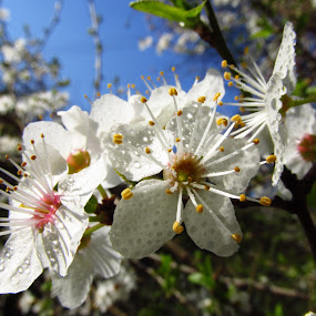 spring by Ionela Garovat - Flowers Tree Blossoms ( nature, tree, flowers, spring )