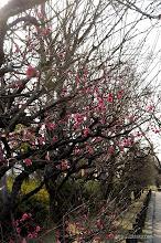 Photo: 1月いっぱい、開花はかなりのスローペースで推移することとなった。(寒紅梅、2014,02,01)