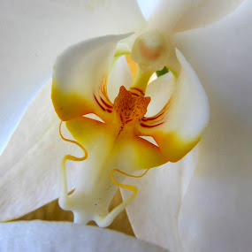 Orchid by Jose Maria Vidal Sanz - Flowers Single Flower