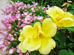 Photo: Yellow roses in front of pink flowers at Wegerzyn Gardens in Dayton, Ohio.