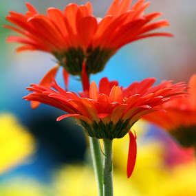 DOUBLE by Mohd Norsabree Sailan - Nature Up Close Flowers - 2011-2013 ( sabreephotograpict, floria2013, red, nature, putrajaya, daisy, double, flower )