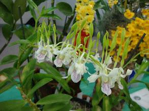 Photo: Dendrobium antennatum