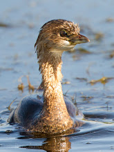 Photo: Pied-billed Grebe