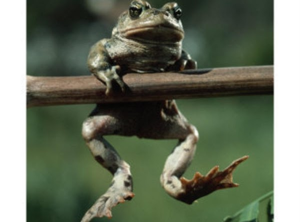 Peggi's Fried Frog Legs Recipe
