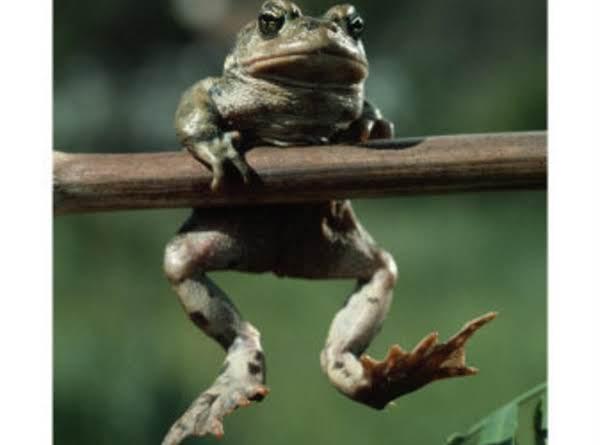 Peggi's Fried Frog Legs