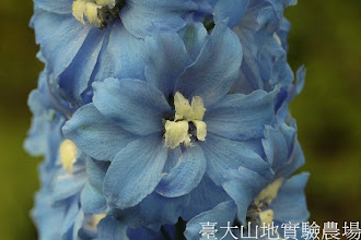 Photo: 拍攝地點: 梅峰-溫帶花卉區 拍攝植物: 飛燕草 拍攝日期:2012_09_27_FY