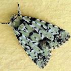 Orion-owl moth