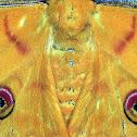 Silk moth