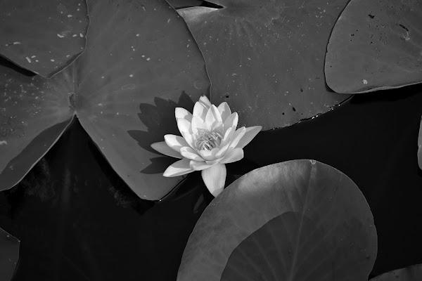 Ninfa black&white di vb63
