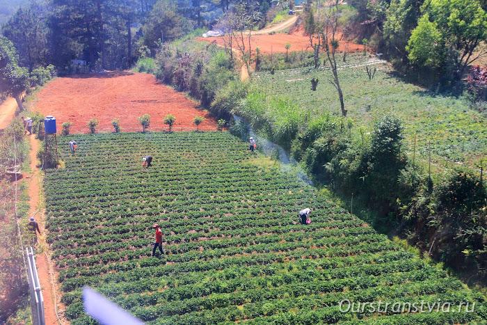 Сбор клубники во Вьетнаме, Далат