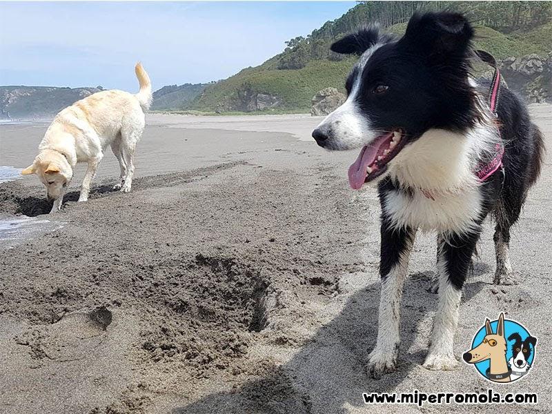 Can de Palleiro y Border Collie en el Playón de Bayas la Playa Canina de Castrillón en Asturias, Can de Palleiro, Border Collie