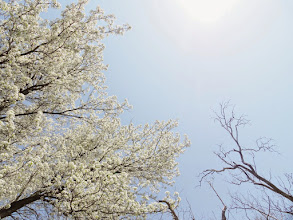 Photo: Barren tree and pear blossoms under the white sun at Eastwood Park in Dayton, Ohio.