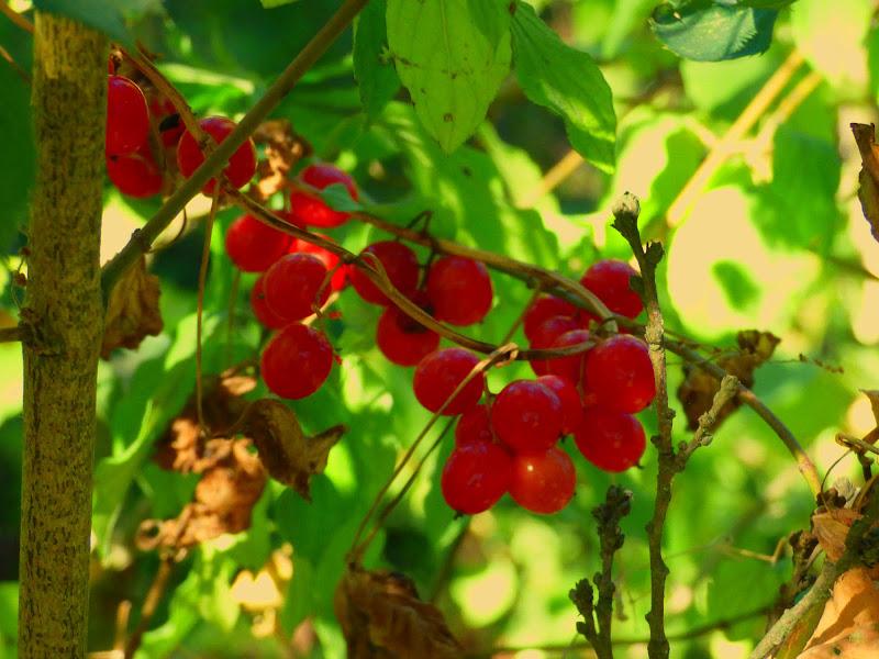 Ribes di sarasphotography