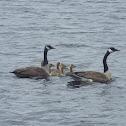 Canada Geese & Goslings