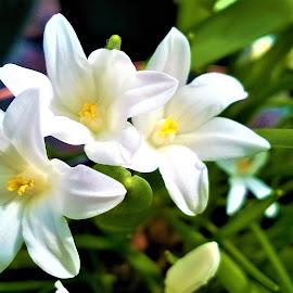 3 white flowers by Svetlana Saenkova - Instagram & Mobile Other ( white flowers,  )
