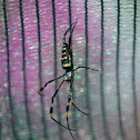 Banded-legged golden orb spider