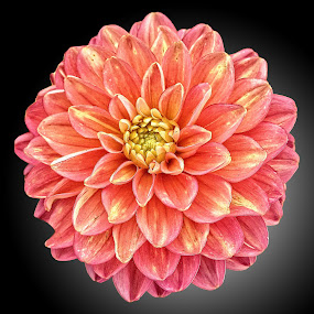 DNI dahlia 06 by Michael Moore - Flowers Single Flower (  )