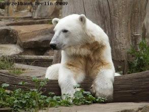 Photo: Knut haengt entspannt ueber dem Baumstamm ab ;-)
