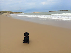 Photo: Monty Cockerpoo on Sea Palling beach