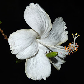 White Hibiscus by Rui Santos - Nature Up Close Flowers - 2011-2013 ( abaetetuba, hibiscus, white, pará, brasil )