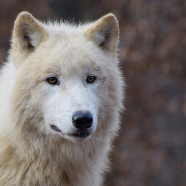 Canis lupus arctos by Petr Olša - Animals Lions, Tigers & Big Cats