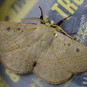 Anthela Moth