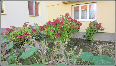 Photo: Hortensie (Hydrangea)    - din Turda, Str. Rapsodiei,  Nr.10A, spatiu verde - 2018.10.31
