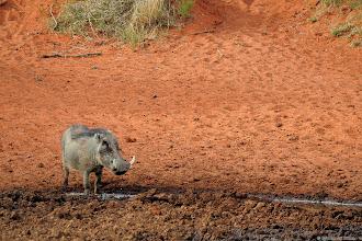 Photo: A Warthog at the Haak en Steek waterhole in the Mokala National Park.
