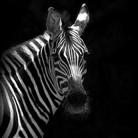 Zebra Portrait by Katie McKinney - Black & White Animals ( contrast, wild, animals, lighting, zoo, nature, pattern, african, black and white, wildlife, zebra, stripes, portrait, animal,  )