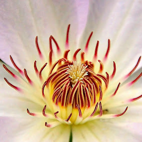 Clematis by Gaylord Mink - Flowers Single Flower ( pistles, clematis, stigmata, petals, flower )