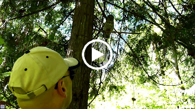 Video: Barred Owl is watching Dan Kelly remove an archery target from beneath its perch.