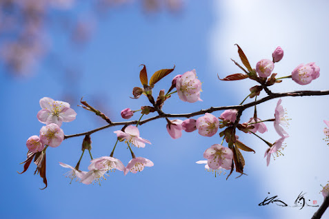 初々しくも愛らしい桜