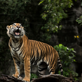 by Charliemagne Unggay - Animals Lions, Tigers & Big Cats