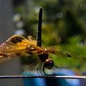 Yellow Barred Flutterer