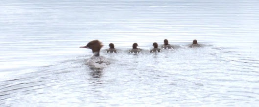 Photo: Goosander with ducklings 13 May 2015 © Pauline Popely 2015