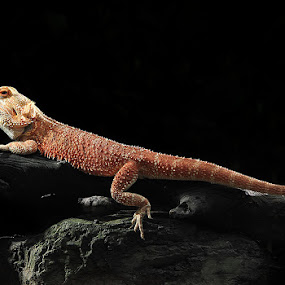 My Red BD by Ferry's Lens - Animals Reptiles