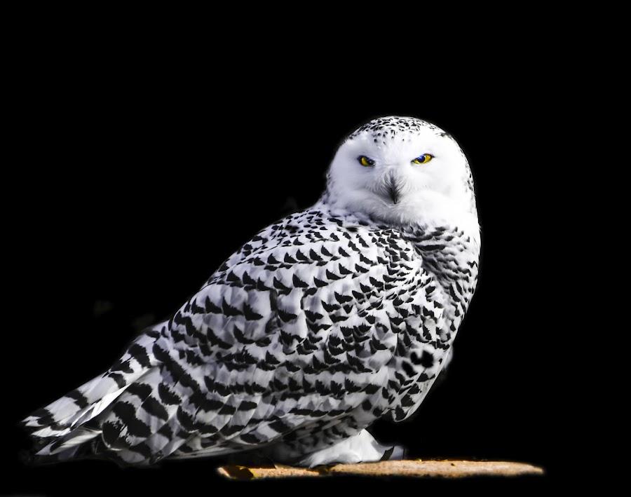 Hedwig 1 on black by Dan Miller - Novices Only Wildlife (  )