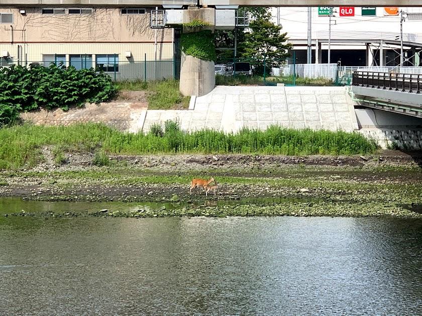 ニホンジカ@釜石・甲子川