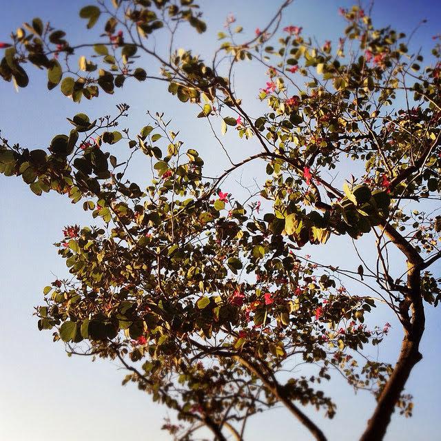 Hong Kong, Flowering, Tree,  香港, 開花, 樹, 開花的樹