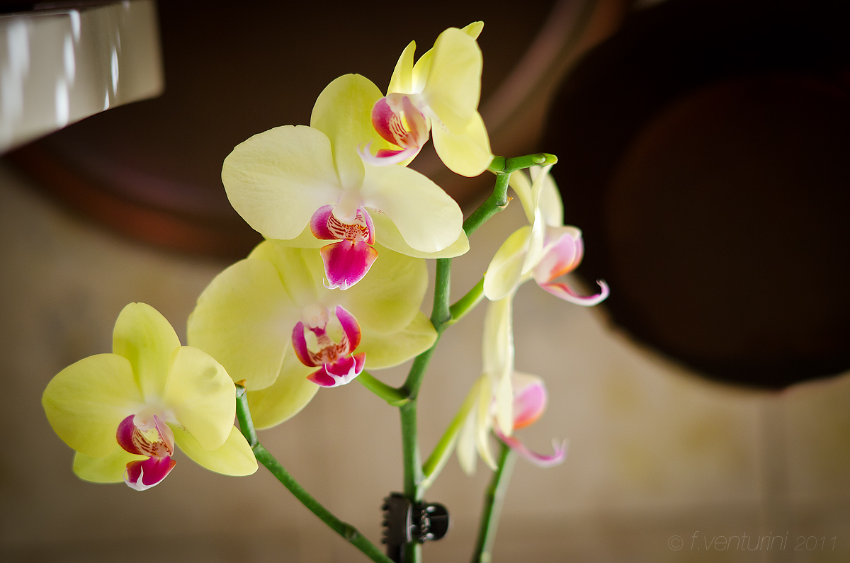 Photo: My newest orchid plant, bought @ IKEA in Florence a couple weeks ago, and shot in my kitchen with a couple copper pans as a background. Ambient light only, a little vignetting added.