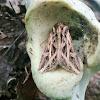 Olive Green Cutworm moth