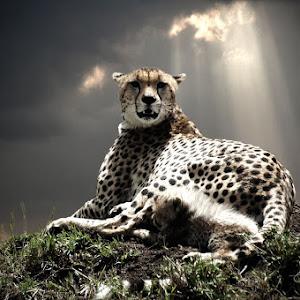 cheetah&cubpixo.jpg
