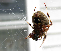 Photo: Spider eating fly, Sept '09.  Note the spinneret. Canon S5-IS in spot meter mode.