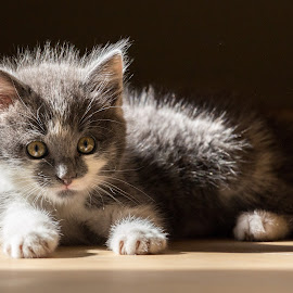 What are you looking at huh ? by Roger Hamblok - Animals - Cats Kittens ( resting, kitten, cat, fluffy, nurse, shadow, cuddly, sunshine, young, sun, sunbathing, pussy,  )